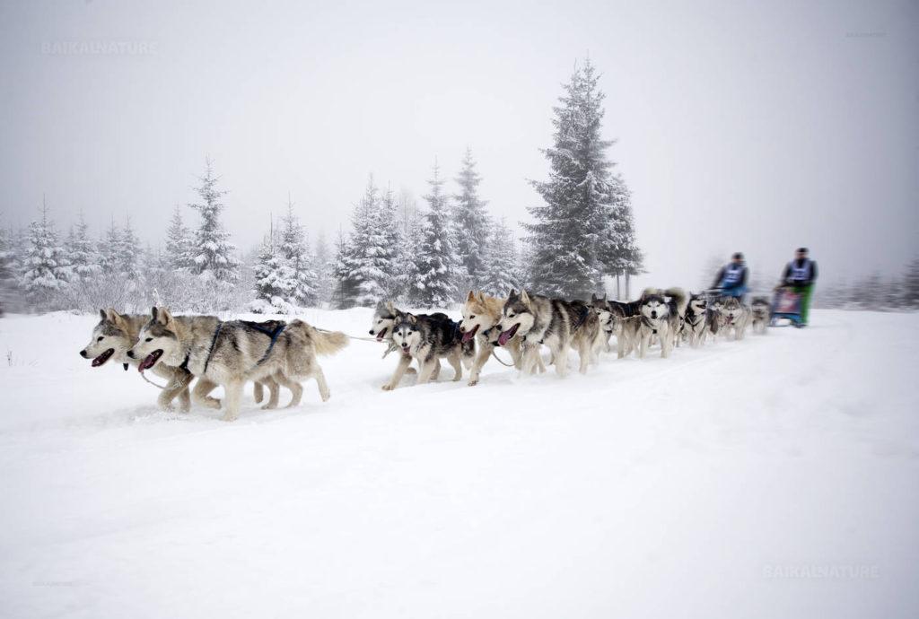 Где в России туристы могут погонять на собачьих упряжках